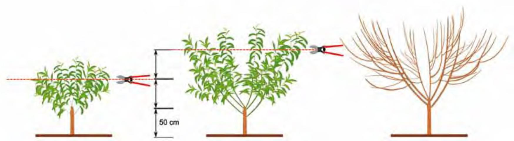 Figure 4. First manual topping is applied at about 40 inches (100 cm) above the soil. Center: Second manual topping is applied about 60 inches (150 cm) above the soil. Right: tree shape at the end of the first year.