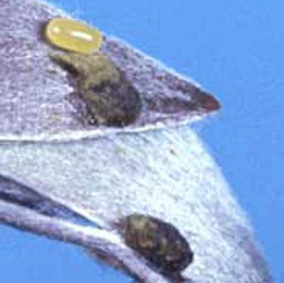 Figure 5.Huevos del picudo de la melaleuca, Oxyops vitiosa (Pascoe), en hojas nuevas; descubierto (amarillo) y cubierto con secreciones de color marrón a negra.