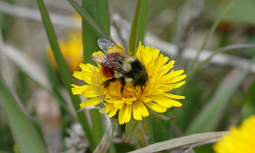 Figure 8. Adult black-tailed bumble bee, Bombus melanopygus.