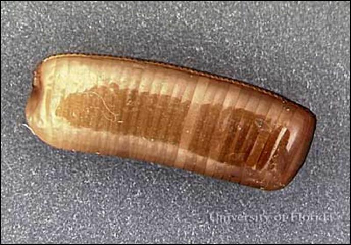 Figure 8.Egg case (ootheca) of the Asian cockorach, Blattella asahinai Mizukubo.