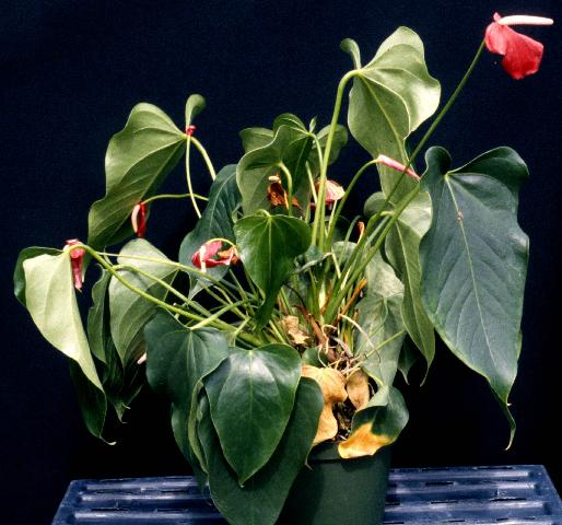 Figure 9. Anthurium wilt caused by Rhizoctonia root rot.