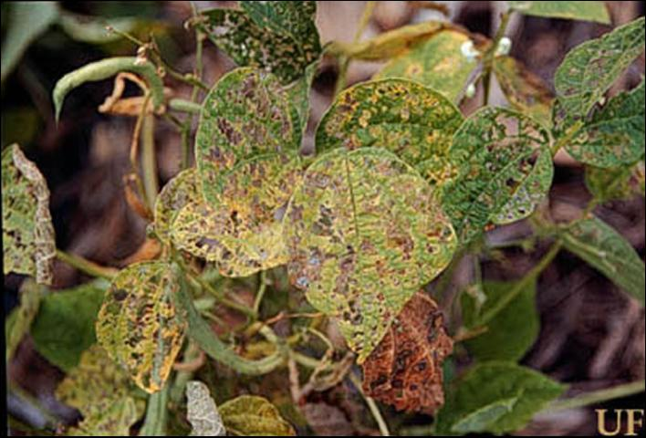 Figure 4. Mexican bean beetle damage.