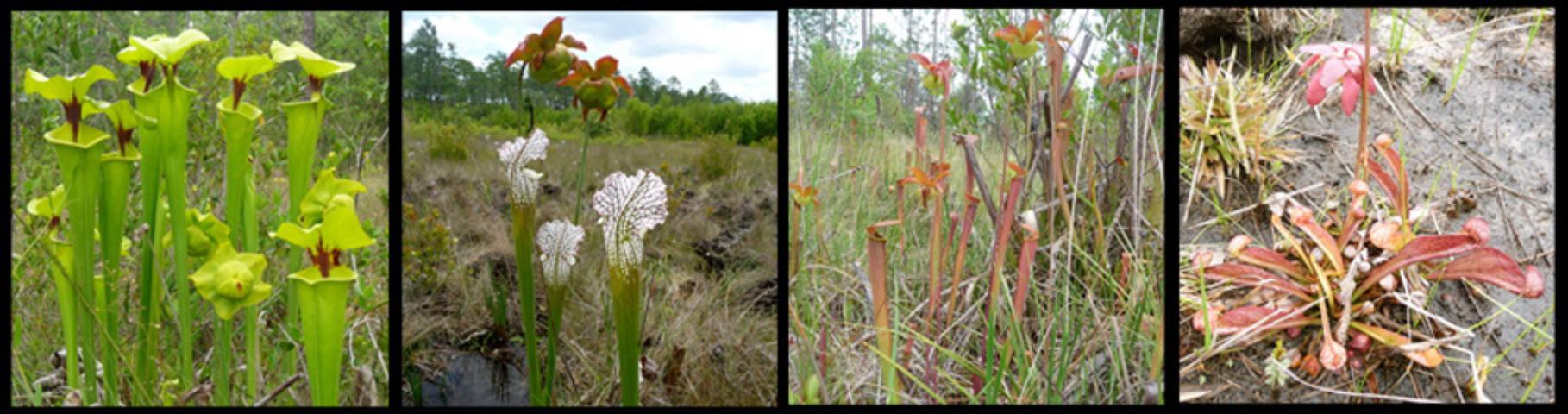Figure 3.Pitcherplant species from left to right, yellow trumpet, white-top pitcherplant, sweet pitcherplant, and parrot pitcherplant.