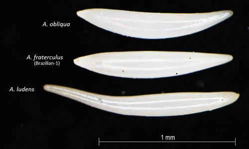 Figure 2.Egg morphology ofAnastrepha fraterculus(Wiedemann), Brazilian-1, in comparison to otherAnastrephaspecies.