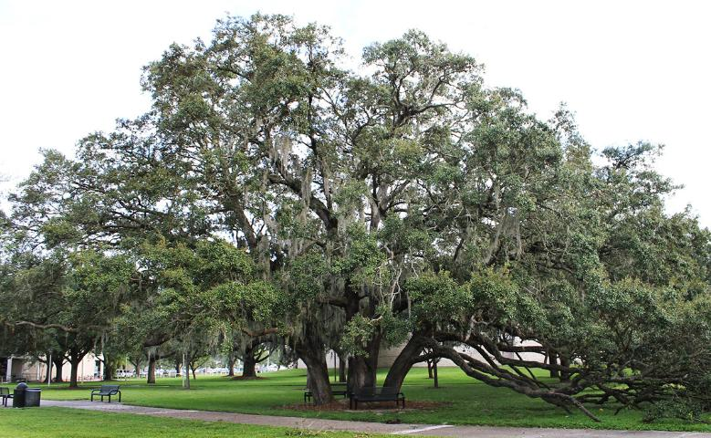 Figure 1. Full Form—Quercus virginiana: southern live oak
