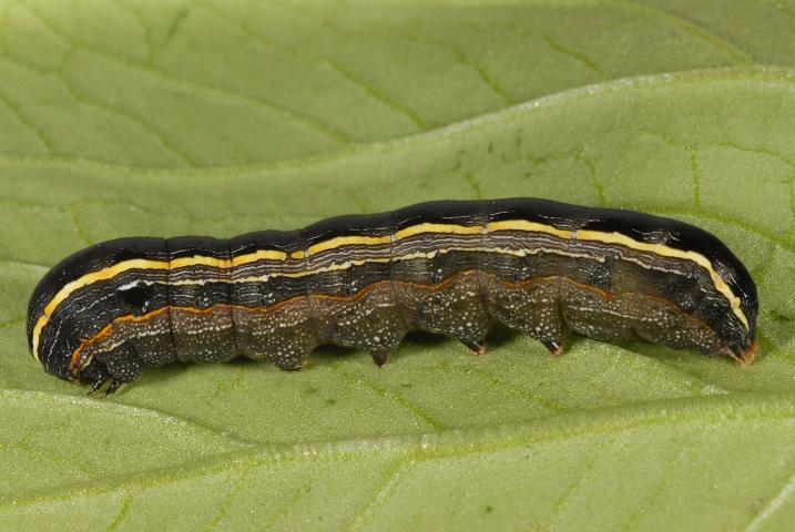 Figure 1. Lateral view of a larva of the yellowstriped armyworm, Spodoptera ornithogalli (Guenée). The yellow dorsolateral line running the length of the body is the basis for the common name of this insect.