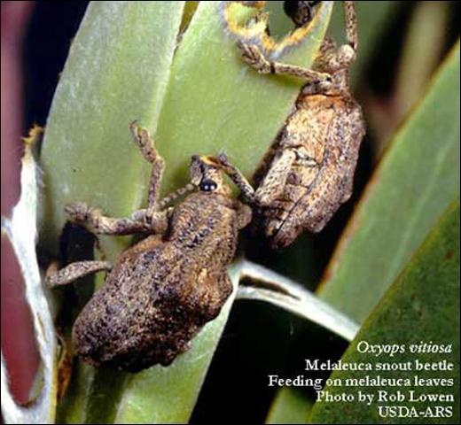 Figure 3.Two melaleuca weevil adults, Oxyops vitiosa (Pascoe), feeding on melaleuca leaves.