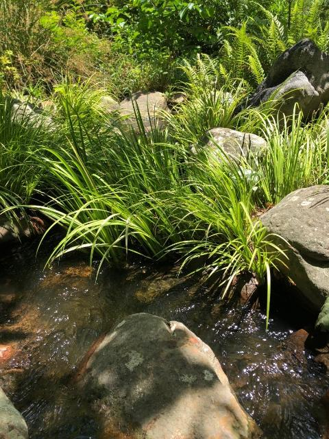 Figure 4.Sweetflag (Acorus) planted in a streamside garden.
