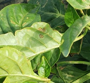Figure 1. Initial symptoms of bacterial spot on pepper leaves exhibiting water-soaking (the dark-green halo surrounding the tan lesion).