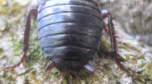 Figure 4.Dorsal view of cerci and posterior sclerites of an adult Florida woods cockroach, Eurycotis floridana (Walker).