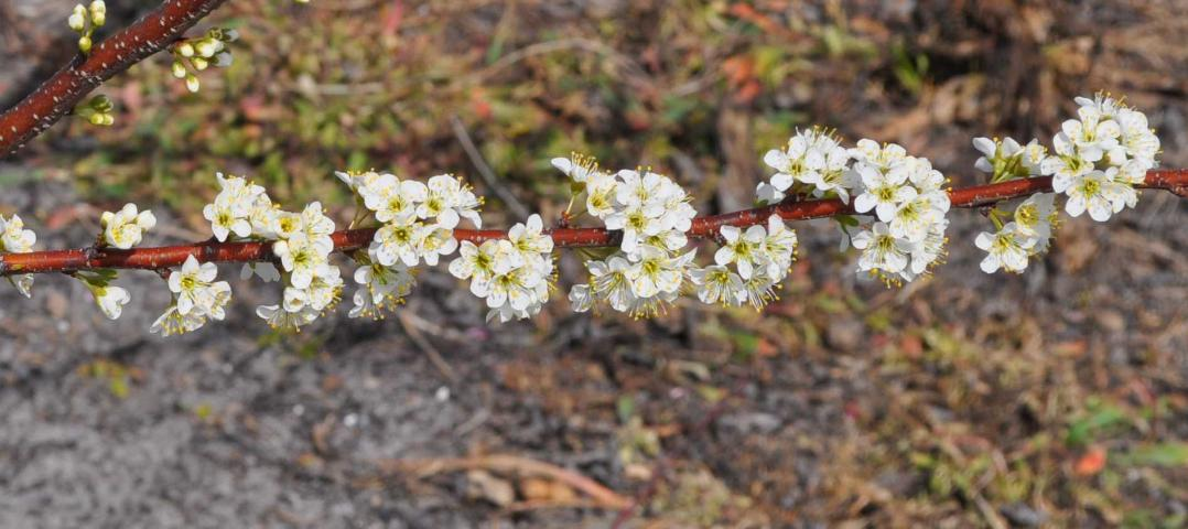 Figure 2.Plum bloom.
