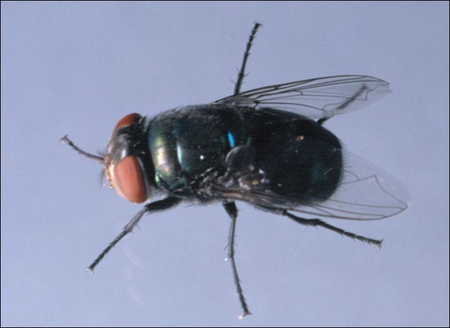 Figure 13. Blow fly.
