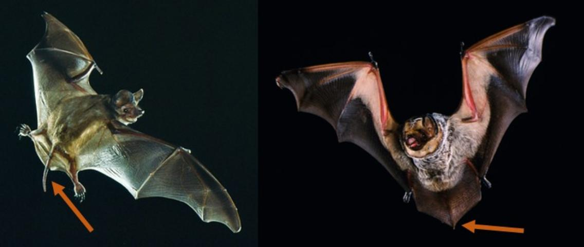 Figure 3. Free-tailed bats (those in the family Molossidae) have long tails that extend >1 inch beyond their tail membrane, like the bat on the left. In comparison, other bats have short, stubby tails, like the bat on the right (not a free-tailed bat).