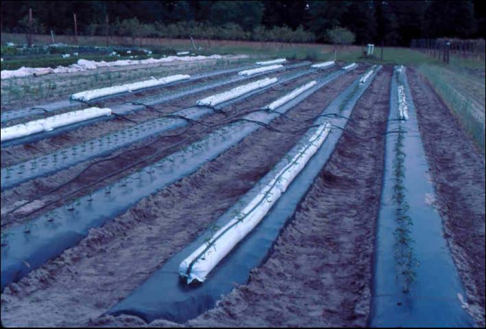 Figure 7.Long, perlite-filled lay-flat bags placed on polyethylene mulched beds in a field, with drip irrigation tube laid on top of the bag.