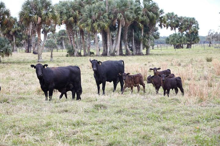Figure 5.Ranchland protected by the Conservation Trust for Florida in partnership with Pelaez and Sons Ranch.