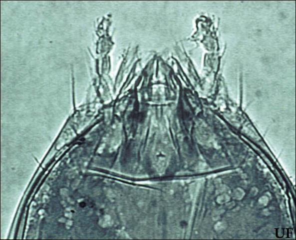 Figure 3. Photomicrograph of the head of Eosentomon megatibiense Tipping with mouthparts inserted inside of the head capsule (900x).