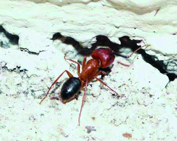 Figure 8.Worker of the Florida carpenter ant entering a void.
