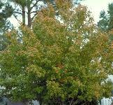 Enh167st008 Acer Barbatum Saccharum Var Caddo Caddo Florida Maple
