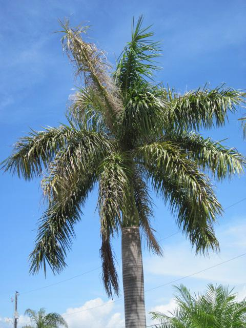 Figure 7. Royal palm bug damage