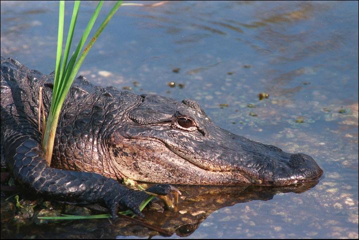 Figure 1.An American Alligator
