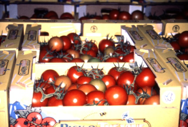 Figure 2.Cluster tomatoes in the box ready for shipment.