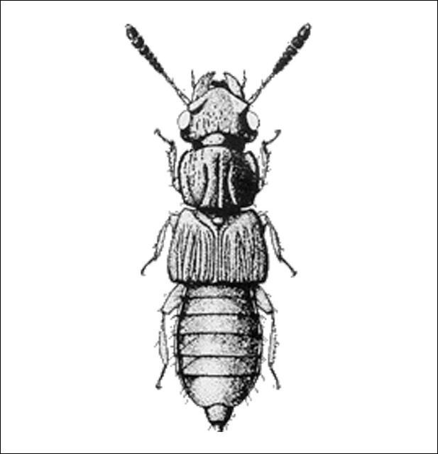 Figure 10.Oxytelus incisus Motschulsky (Oxytelinae) 3.0 mm.