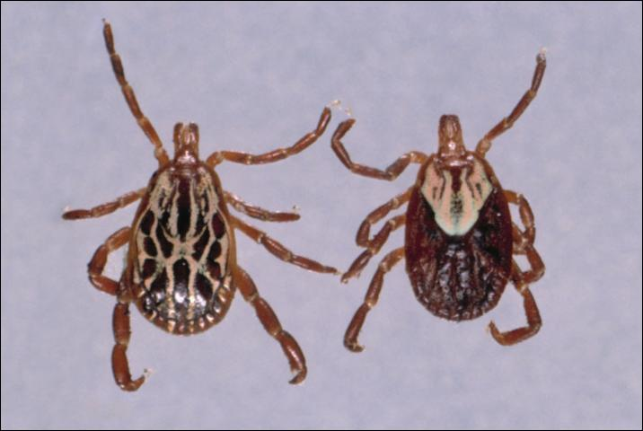 Figure 5. Gulf coast tick.