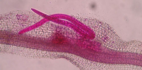 Figure 8. Adult male grass root-knot nematode, Meloidogyne graminis Whitehead, exiting a bermudagrass root. Males are worm-shaped and mobile. The nematode has been stained red for observation.