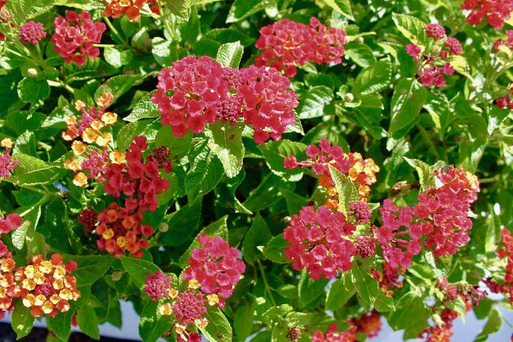 Figure 2.Flowers and inflorescences of 'Bloomify Red' lantana grown outdoors in ground beds in full sun in Florida.