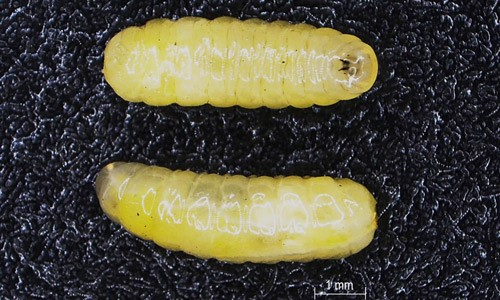 Figure 3.Ventral (top) and lateral (bottom) views of the Anastrepha fraterculus (Wiedemann) (Brazilian-1) third instar larvae.