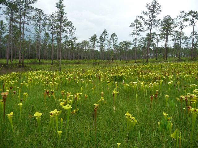 Figure 1.Flowering yellow trumpet pitcherplants in a seepage slope located in Blackwater River State Forest in the western Florida Panhandle.