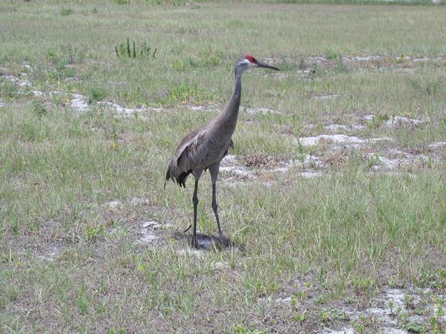 Figure 1.Sandhill crane.