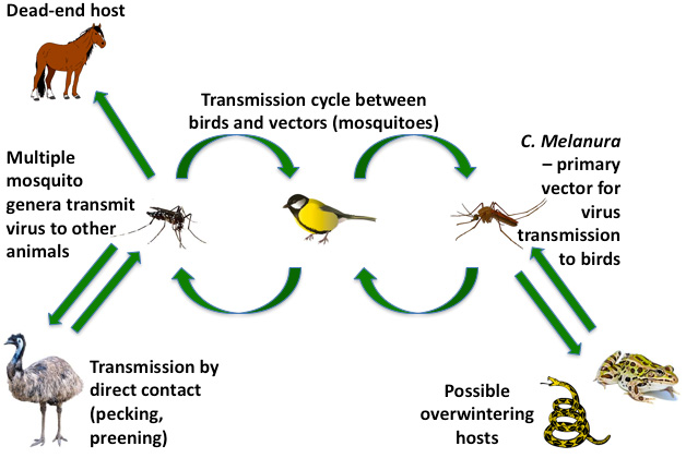 Figure 1. Transmission cycle for EEEV between vector and hosts. The disease cycle is maintained between female mosquitoes and birds. Horses are an example of a dead-end host, contact with which will not transmit the disease. Certain birds such as emus or pheasants can spread the virus through pecking and preening of feathers. Amphibians and reptiles could be hosts for the virus in winter months, when birds have migrated.