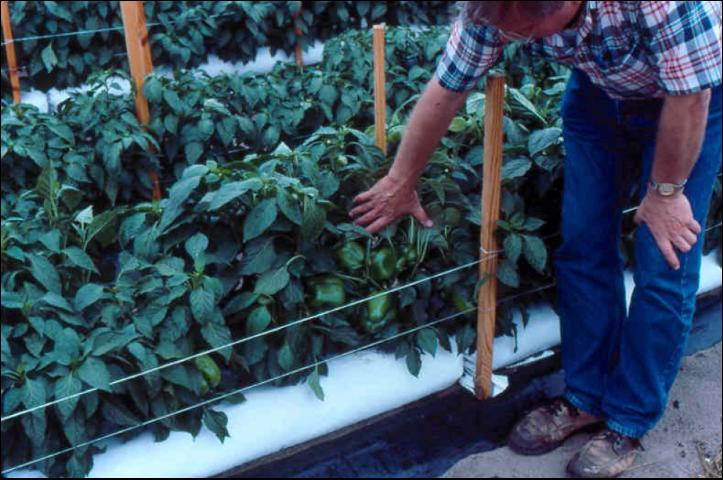 Figure 5.Long lay-flat bags filled with perlite in use for outdoor pepper production.
