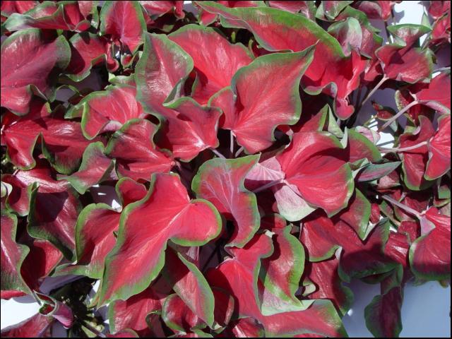 Figure 11.'Florida Red Ruffles'