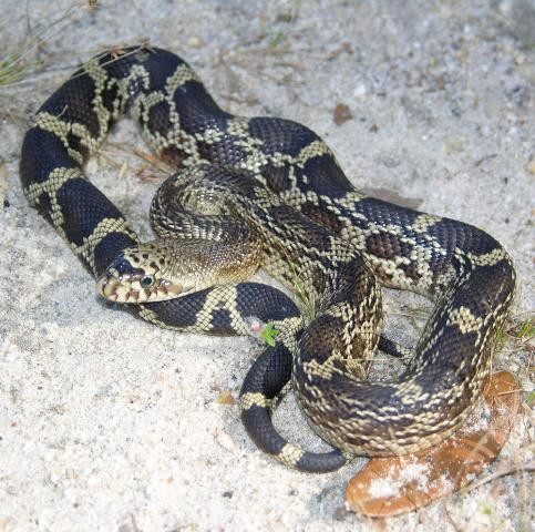 Figure 2. The markings of young Florida pinesnakes are much more distinct than those of adults.