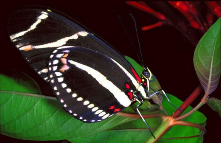 Figure 2. Adult zebra longwing butterfly, Heliconius charithonia (Linnaeus), with ventral view of the wings.