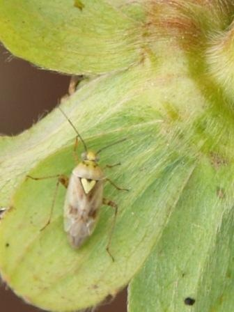 Figure 5.Lygus hesperus, the western tarnished plant bug. Trap cropping with alfalfa has been used to manage Lygus in cotton and strawberry.