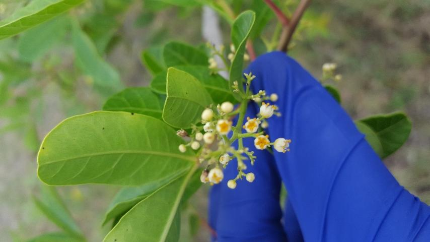 Figure 4. White flowers of the Brazilian peppertree.