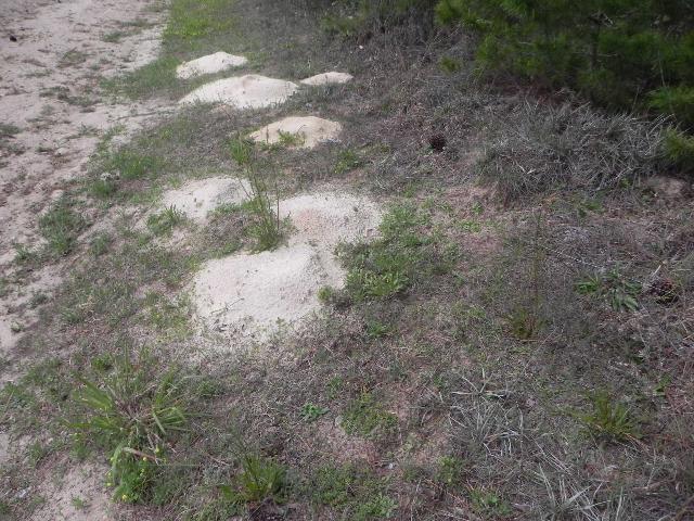 Figure 3.A single pocket gopher creates many sandy mounds. Note the asymmetrical shape of each mound.