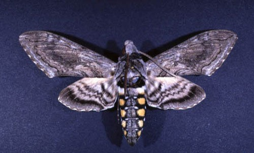 Figure 4.Adult form ofManduca quinquemaculata(Haworth), a sphinx moth sometimes called the five-spotted hawkmoth.