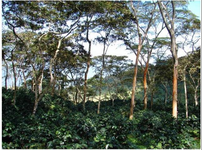 Figure 8.Rainforest Alliance-Certified coffee farm in Santander, Colombia.