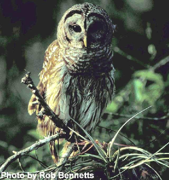 Figure 1.Barred owl (Strix varia).