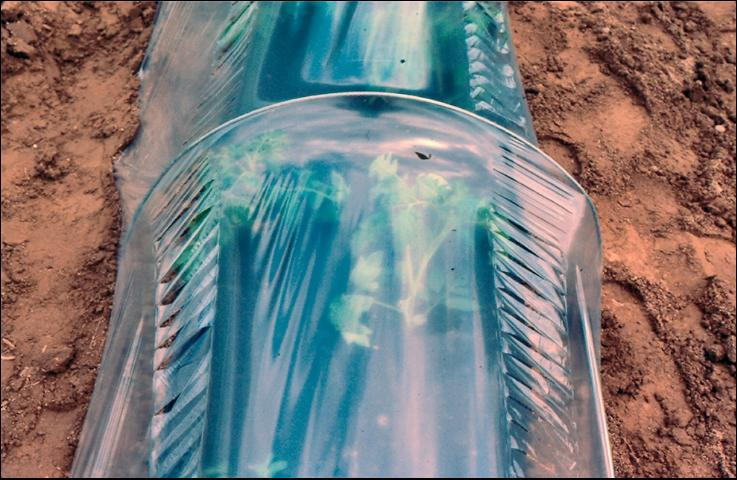 Figure 10.Slitted row cover (tunnel), clear. Close-up of slits.