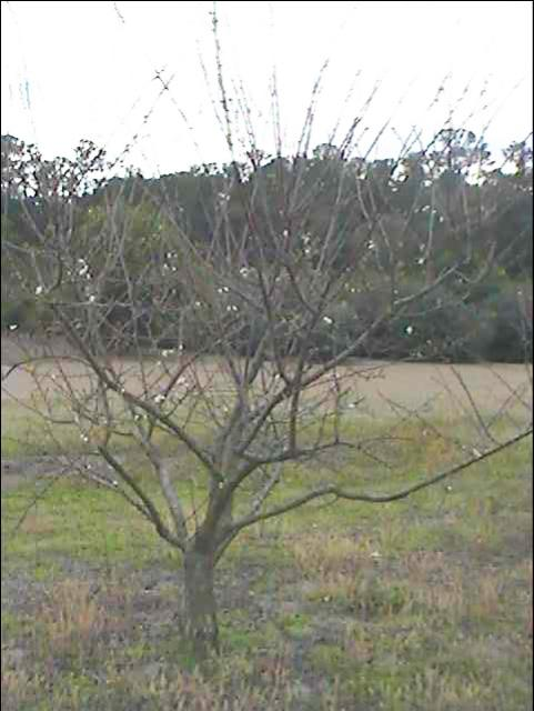 Figure 10.Unpruned tree showing cluttered center, unrestricted height, and low hanging limbs.