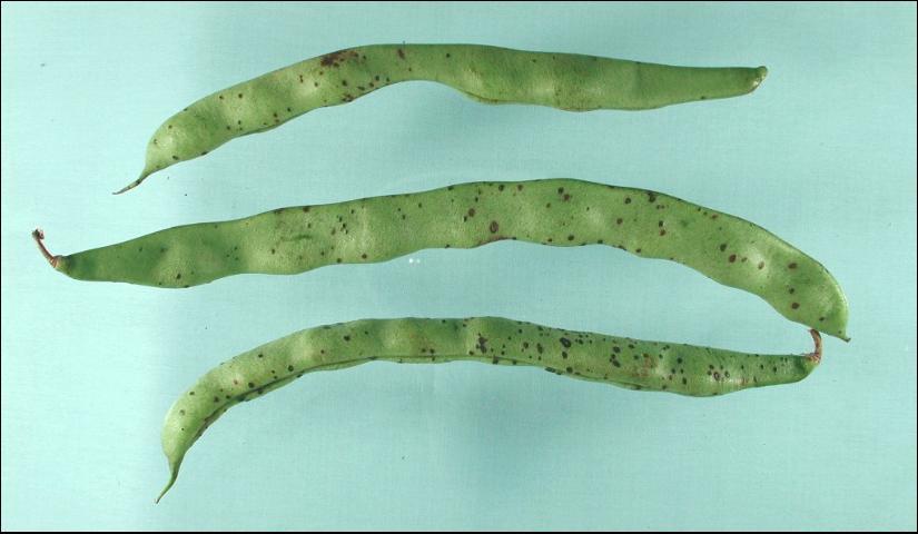 Figure 2.Severe symptoms of Alternaria pod spot.