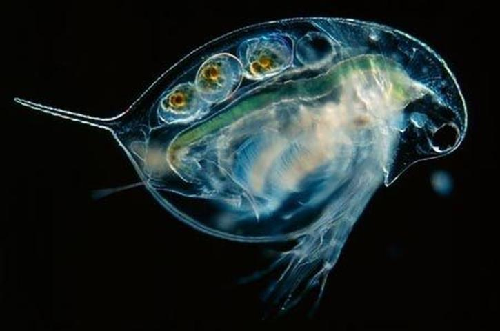 Figure 2. Microscopic photograph of a Daphnia, a zooplankton that eats algae and can be used to manage eutrophication.