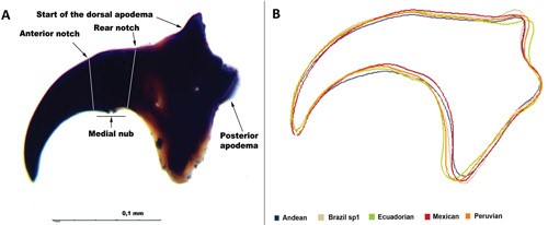 Figure 4.(A) Mouth hook of third instar larva from lateral view. (B) Estimated morphological differences in the shape of mouth hook of five morphotypes of the Anastrepha fraterculus (Wiedemann) complex.