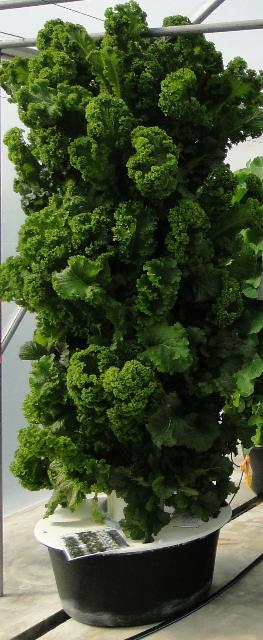 Figure 3.Curly kale variety in an aeroponic tower.