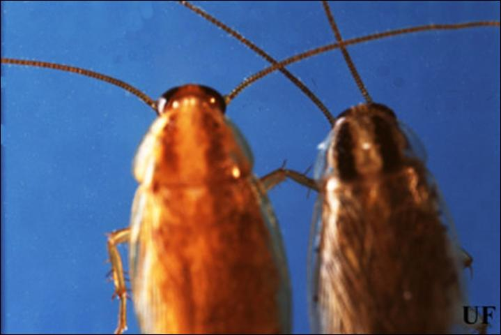 Figure 7.Adult male German (left), Blattella germanica (Linnaeus), Asian (right), Blattella asahinai Mizukubo, cockroaches, dorsal view. The pronotal stripes of the Asian cockroach are darker and more defined compared to the stripes on the German cockroach.